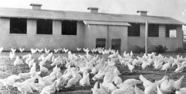 chickens in Arcadia California 1920